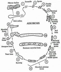 Pleomorphic Life Cycle