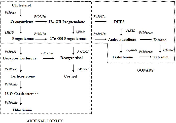 Progesterone metabolic pathway