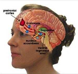 brain nucleus accumbens