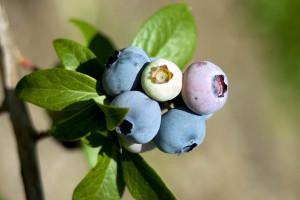 berries boost memory
