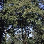 Healing the gut with slippery elm bark