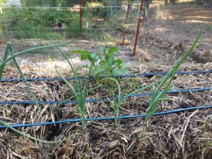 Potatoes with Onions in Front Straw Bale Gardening
